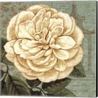 Camellia Study II Fine Art Print