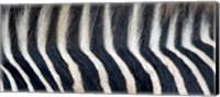 Close-up of a Greveys zebra stripes and mane Fine Art Print