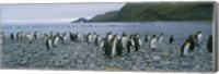 Colony of King Penguins, South Georgia Island, Antarctica Fine Art Print