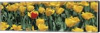 Yellow tulips in a field Fine Art Print