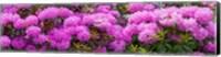 Hydrangeas flowers, Union Township, Union County, New Jersey, USA Fine Art Print
