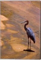 Buffalo Springs National Reserve, Goliath Heron, Kenya Fine Art Print