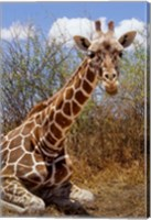 Giraffe lying down, Loisaba Wilderness, Laikipia Plateau, Kenya Fine Art Print