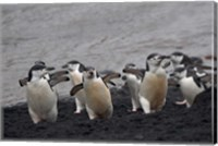 Chinstrap Penguin on the beach, Deception Island, Antarctica Fine Art Print