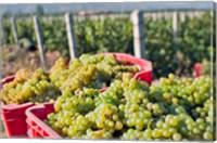 Harvesting Chardonnay grapes in Huailai Rongchen vineyard, Hebei Province, China Fine Art Print