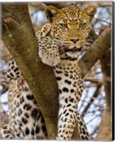 Africa. Tanzania. Leopard in tree at Serengeti NP Fine Art Print