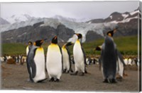 King penguins, Gold Harbor, South Georgia Fine Art Print