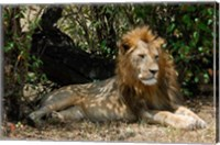 Kenya, Masai Mara Game Reserve, lion in bushes Fine Art Print