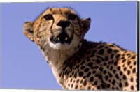 Kenya, Masai Mara National Reserve. Female Cheetah Fine Art Print