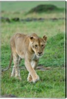 Kenya: Masai Mara Game Reserve, Mara Conservancy, Lion Fine Art Print