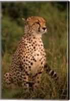 Kenya: Masai Mara, head of mating cheetah Fine Art Print