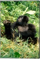Rwanda, Six year old mountain Gorilla, March Fine Art Print
