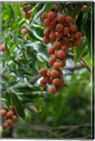 Tropical Litchi Fruit On Tree, Reunion Island, French Overseas Territory Fine Art Print