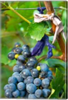 Vineyard operated by Dynasty winery near Jixian, Tianjin province, China Fine Art Print