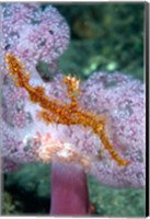 Pipe fish and coral Fine Art Print