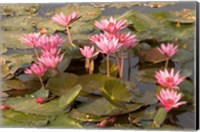 Pink Lotus Flower in the Morning Light, Thailand Fine Art Print