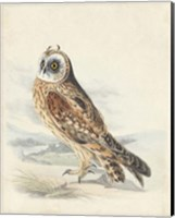 Meyer Hawk Owl Fine Art Print