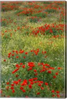 Red Poppy Field in Central Turkey during springtime bloom Fine Art Print