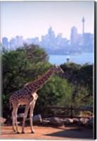 Giraffe, Taronga Zoo, Sydney, Australia Fine Art Print
