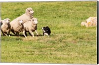 Purebred Border Collie dog and sheep Fine Art Print