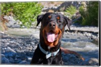 USA, California Rottweiler smiling Fine Art Print