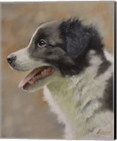 Border Collie 9 Fine Art Print