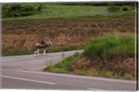 Old man rides a donkey loaded with wood, Anguiano, La Rioja, Spain Fine Art Print