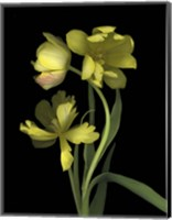 Yellow Dutch Tulip 1 Fine Art Print