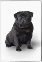 Black Pug Portrait On White Fine Art Print