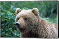 Brown Bear Stare Fine Art Print