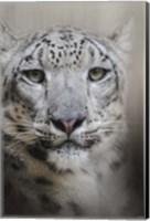 Stare Of The Snow Leopard Fine Art Print