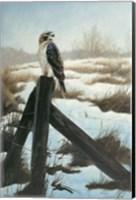 Hawk Eye Fine Art Print