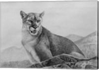 Cougar Study Fine Art Print