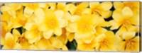 Yellow Tulips Fine Art Print