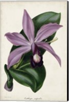 Plum Orchid Fine Art Print