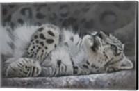 Snow Leopard Reclining Fine Art Print