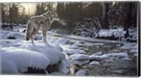 Winter Creek - Coyote Fine Art Print