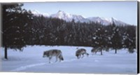 Evening Glow- Wolf Pack Fine Art Print