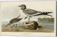 Fork-Tailed Gull Fine Art Print