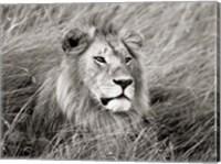 African Lion, Masai Mara, Kenya 2 Fine Art Print