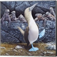 Blue Footed Boobies Fine Art Print