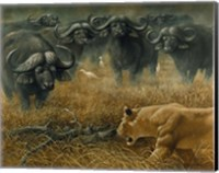Lioness And Cape Buffalos Fine Art Print
