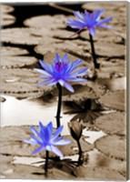 Pop of Color Lotus Flowers Fine Art Print