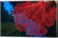 Gorgonian Sea Fan, Viti Levu Fiji Fine Art Print