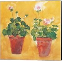Pelargoniums Fine Art Print