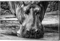 The Hippo - Black & White Fine Art Print