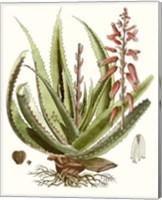 Antique Aloe I Fine Art Print