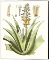 Antique Aloe II Fine Art Print