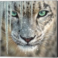 Snow Leopard - Blue Ice Fine Art Print