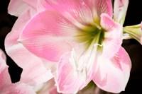 Soft Petals Fine Art Print